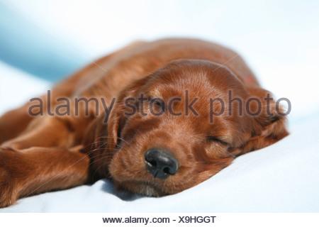 Irish Red Setter, Irish Setter (Canis lupus f. familiaris), puppy lying on a blue blanket sleeping - Stock Photo