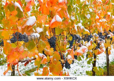 Snow-covered grape-vines, Dornfelder grapes, in autumn, Korb-Steinreinach, wine-growing region of Remstal, Baden-Wuerttemberg - Stock Photo