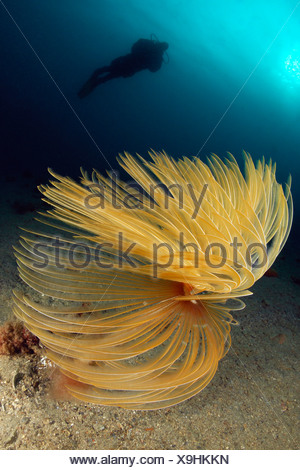 Spiral Worm and Scuba Diver, Spirographis spallanzani, Piran, Istria, Slovenia - Stock Photo