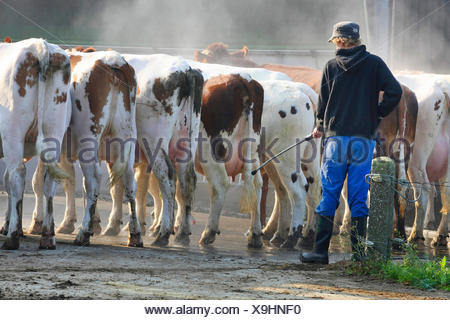 domestic cattle (Bos primigenius f. taurus), farmer hosing cows with a water hose, Belgium - Stock Photo