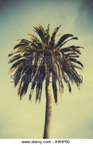 Date palm tree, Monterey - Stock Photo
