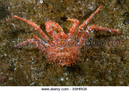 The northern stone crab is a member of the king crab species that lives mainly in the cold northern waters. - Stock Photo