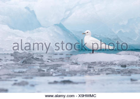 Ivory gull (Pagophila eburnea), adult on ice at glacier front, Samarinvagen Bay, Hornsund  Fjord, Svalbard Archipelago, Arctic - Stock Photo