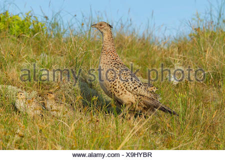 common pheasant, Caucasus Pheasant, Caucasian Pheasant (Phasianus colchicus), female in a meadow with chicks, Germany, North Rhine-Westphalia - Stock Photo