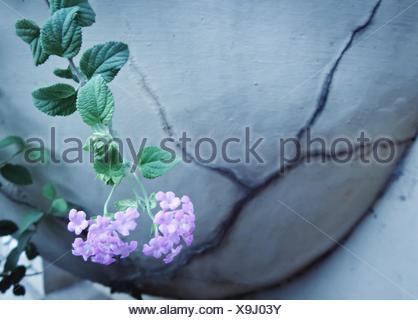 High Angle View Of Pink Lantana Camara Blooming Outdoors - Stock Photo