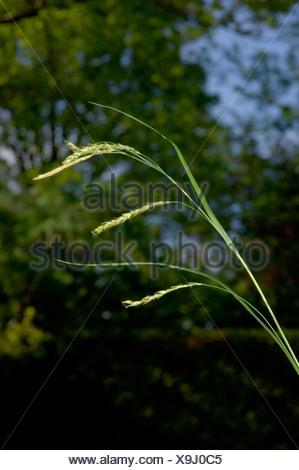 WOOD-SEDGE Carex sylvatica (Cyperaceae) - Stock Photo