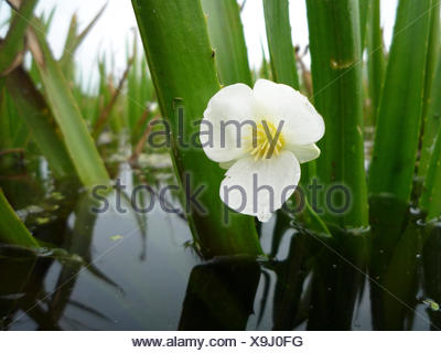 Flower of water soldier in a low-moor peat ditch - Stock Photo