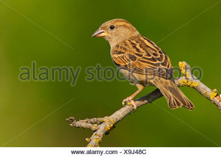 house sparrow (Passer domesticus), female sitting on a branch, Germany, Rhineland-Palatinate - Stock Photo