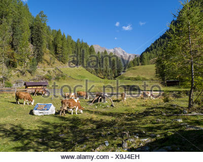Cows on a pasture, Austria - Stock Photo