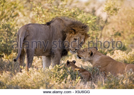 Africa, Botswana, African Lion (Panthera leo) Lioness (Panthera leo) and cub - Stock Photo