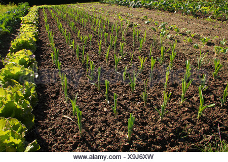 Several backlit rows of young leeks growing in a well kept vegetable garden. - Stock Photo
