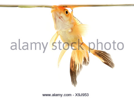 fantail goldfish - Stock Photo