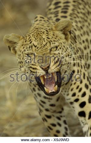 leopard (Panthera pardus), hissing, Namibia - Stock Photo