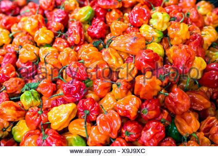 Many red yellow orange habanero peppers - Stock Photo