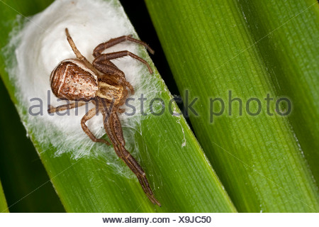 Swamp crab spider (Xysticus ulmi), female on its coccon, Germany - Stock Photo