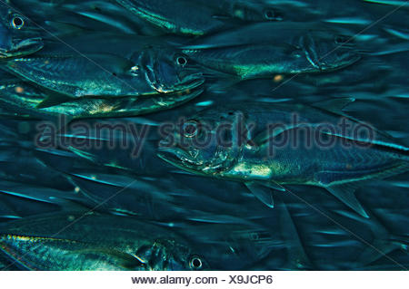 Schooling trevally jack fish swim in the waters off Sipadan Island. - Stock Photo