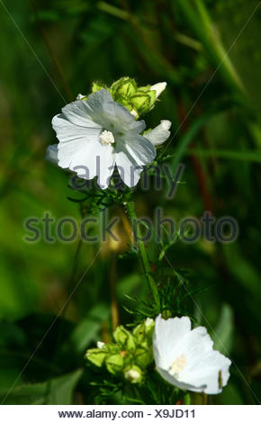 mallow plant mallow delighted unambitious enthusiastic merry radiant with joy - Stock Photo