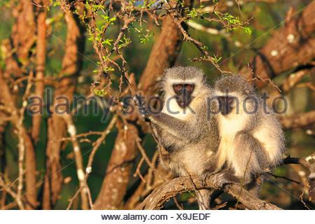 Grivet monkey, Savanna monkey, Green monkey, Vervet monkey (Cercopithecus aethiops), pair sitting in the morning sun on a tree, South Africa, Eastern Cape, Camdeboo National Park - Stock Photo