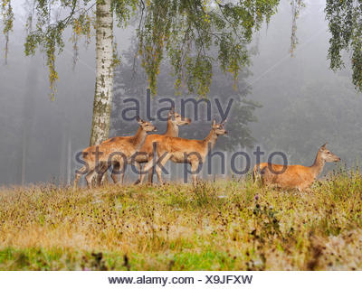 red deer (Cervus elaphus), group of hinds in morning mist in autumn, Germany, Saxony