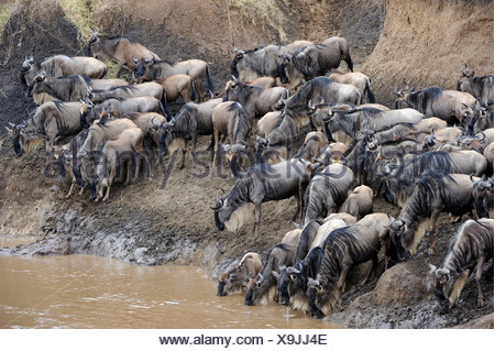 Blue or Common Wildebeest (Connochaetes taurinus), wildebeest migration, jostling for positions on the shore of the Mara River - Stock Photo