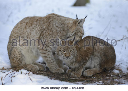 Eurasian lynxes, Lynx lynx, adult animal, young animal, winter, side view, looking at camera, - Stock Photo