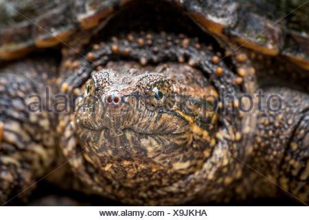 Juvenile, Snapping Turtle (Chelydra serpentina), Bon Echo Provincial Park, Ontario - Stock Photo