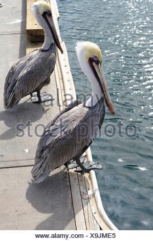Pelican. San Lucas Marina. Cabo San Lucas. Baja California. Mexico. - Stock Photo