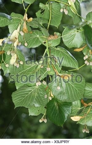 Large-leaved Lime Tilia platyphyllos (Tiliaceae) - Stock Photo