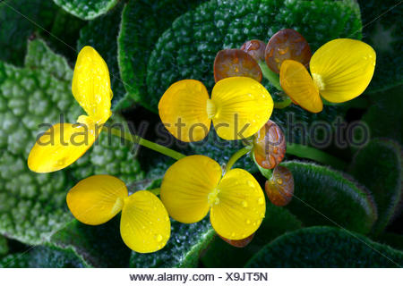Species of Begonia (Begonia ficicola), blossoms, Nigeria, Africa - Stock Photo