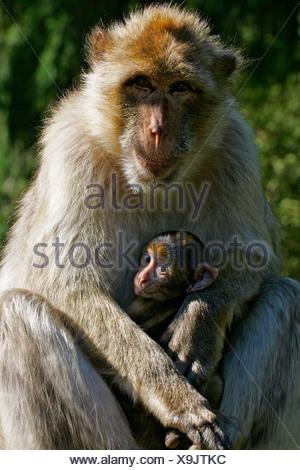Barbary apes - female with cub - barbary macaque (Macaca sylvanus) - Stock Photo