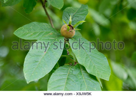 Medlar or Common Medlar (Mespilus germanica), leaves and fruit, Thuringia, Germany - Stock Photo