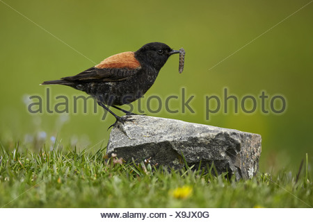 Austral Negrito (Lessonia rufa) adult male moulting plumage with grub in beak Torres del Paine N.P. Southern Patagonia Chile - Stock Photo