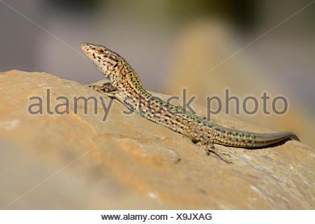 Ibiza wall lizard (Podarcis pityusensis, Lacerta pityusensis), sunbathing on a stone, Spain, Balearen, Ibiza - Stock Photo