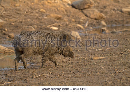 Indian Wild Boar - Sus scrofa cristatus - male - Stock Photo