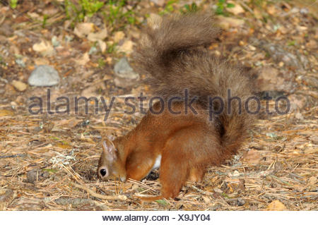 Red Squirrel - Sciurus vulgaris - Stock Photo