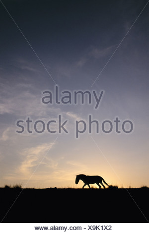 Hustain Nuruu National Park Mongolia Takhi sunset Equus caballus przewalskii Mongolia - Stock Photo