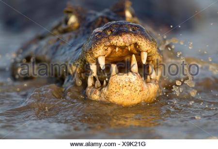Spectacled caiman (Caiman crocodilus) feeding on fish, Pantanal, Brazil. - Stock Photo
