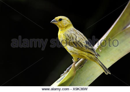 Immature male golden - bellied grosbeak (Pheuctinus chrysogaster) Chaparri Ecological Reserve, Peru, South America - Stock Photo