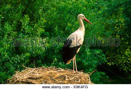 White stork. Ciconia ciconia, - Stock Photo