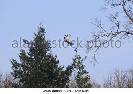 white stork - flying / Ciconia ciconia - Stock Photo
