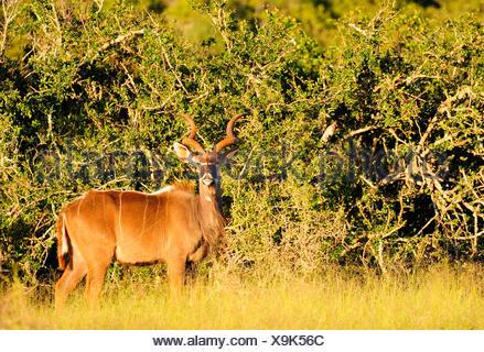 greater kudu (Tragelaphus strepsiceros), male, South Africa, Addo Elephant National Park - Stock Photo