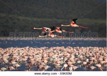 Lesser Flamingo, phoenicopterus minor, Group in Flight, Nakuru Lake in Kenya - Stock Photo