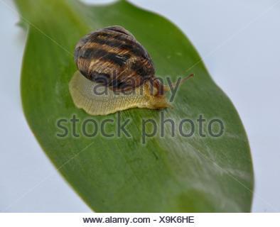 Clam snail crawling forward on a green leaf - Stock Photo