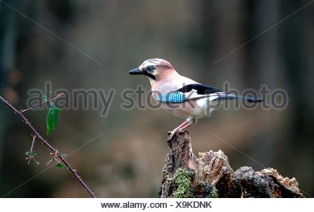 jay; songbird; - Stock Photo