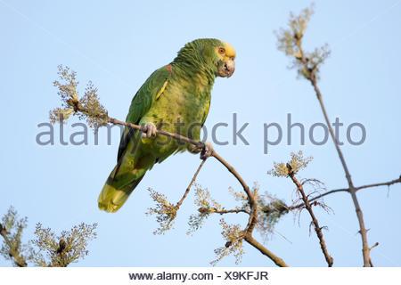 Yellow-headed Amazon (Amazona oratrix), free-living, Rosenstein Park, Stuttgart, Baden-Wuerttemberg - Stock Photo
