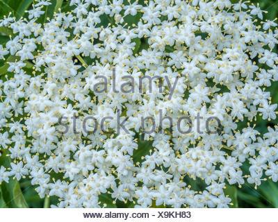 Blühender Holunder (Sambucus), Hollerblüten, Bayern, Deutschland, Europa - Stock Photo