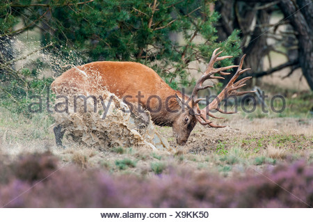 red deer, male, cervus elaphus - Stock Photo