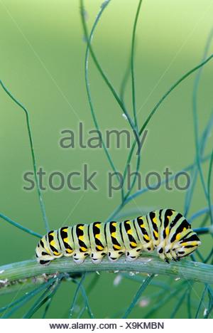 close up of a black swallowtail caterpillar on dill weed, winnipeg, manitoba, Canada.