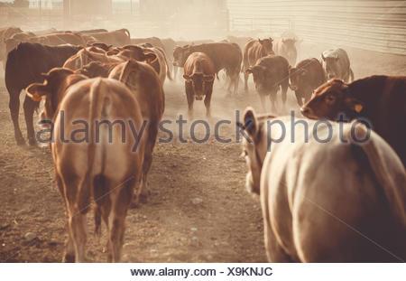 Herd of bulls on a farm - Stock Photo