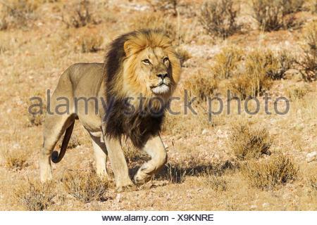 Black-maned Lion (Panthera leo vernayi), male, roaming, Kalahari Desert, Kgalagadi Transfrontier Park, South Africa - Stock Photo
